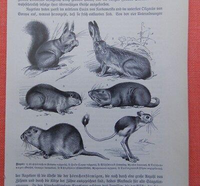 Nager Eichhörnchen Hase Wühlmaus Schweif Biber Springmaus  Holzstich 1893