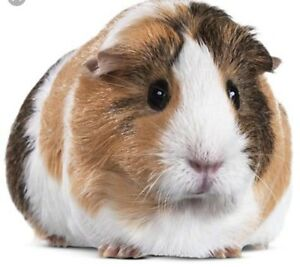 ***WILLING TO TAKE IN UNWANTED GUINEA PIGS***