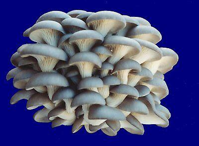 Organic Indoor Blue Oyster Mushroom Growing Kit