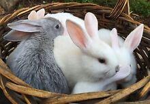 mini lop x Flemish giant baby rabbits for sale Karoonda Karoonda Area Preview