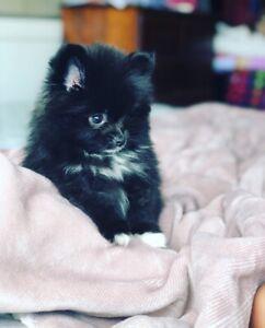 Adorable Doll faced female black Pomeranian