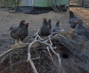 Plymouth Rock Fertile Eggs $45 Dozen Dakabin Pine Rivers Area Preview