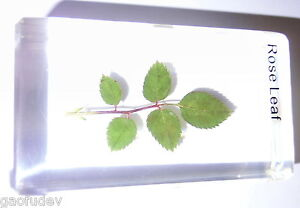 Plant-Specimen-Rose-Leaf-Rugosa-Rose-Rosa-rugosa-in-Clear-Paperweight
