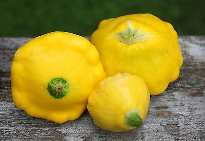 Sunburst Squash Seed - 1g (approx. 10) golden pattypan squash seeds SUNBURST nice shape, highly dietary