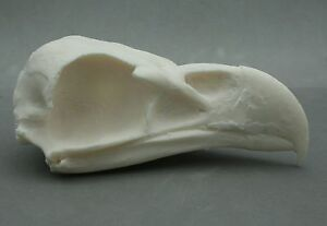 Sea-Eagle-Bird-Skull-Replica-Taxidermy-Study-Unusual-Ornament-Bird-of-Prey