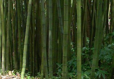 Vendita Piante Bambu Milano.Bambu Piante Usato Vedi Tutte I 100 Prezzi