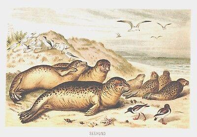 Seehund  Phoca vitulina Robbe  Hundsrobbe Lithographie um 1900