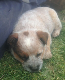 Red stumpy tail male cattle dog puppy