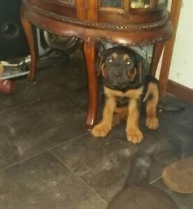 Rottweiler puppies Onkaparinga Hills Morphett Vale Area Preview