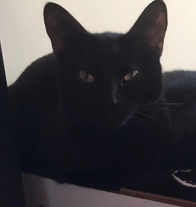 2 year old black cat Wattle Grove Liverpool Area Preview