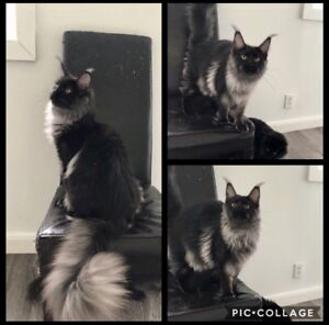 Huge TICA reg Maine Coon kittens available!
