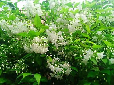 Flower 15 Seeds - NEW!15 Seeds Wrightia religiosa Benth, Mok Flower Tree Thailand rare