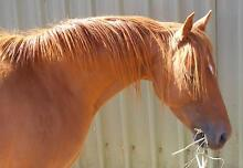 LANGTREE VANITY RIDING PONY BROOD MARE Nundle Tamworth Surrounds Preview