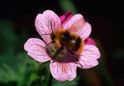 Art print POSTER Bee Gathers Nectar From Pink Flower Bee Gathers Nectar