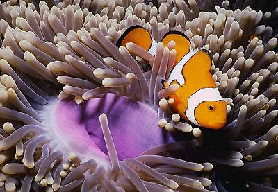 Art print POSTER False Clownfish and Magnificent Sea Anemone