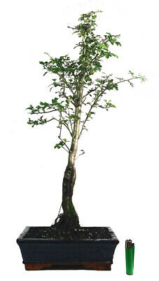 Common Hawthorn -Crataegus monogyna outdoor bonsai tree (Actual tree)