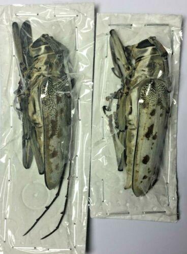 Cerambycidae: Batocera tigris 60+ Pair - Malaysia