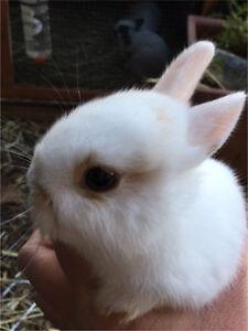 Netherland rabbits $80 Mount Barker Mount Barker Area Preview