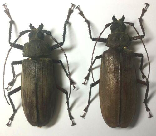 Prioninae: Xixuthrus penrousi (Pair) - C.Sulawesi