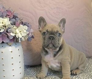 Perfect Lilac & Pied CKC French Bulldog Puppies