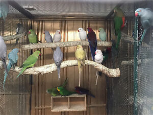 Indian Ringnecks - Large Variety - Campbellfield Hume Area Preview