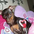 playmate wanted black and tan min pin