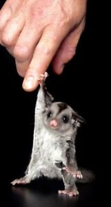 Needed!!!! ISO::Sugar glider (cage mate passed:(