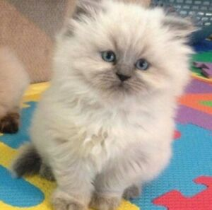 ⭐️ WANTED ⭐️ Female Blue Point Himalayan Kitten ⭐️