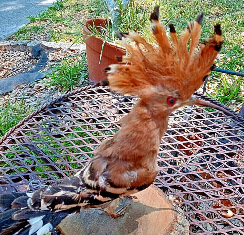"Taxidermy Bird ""Eurasian Hoopoe""  Standing on wood"