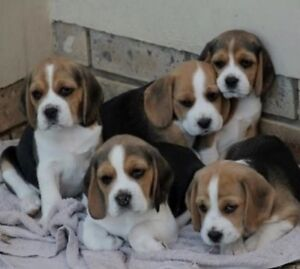 Wanted: a Beagle puppy