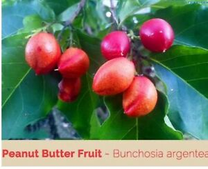 Peanut butter fruit tree Stapylton Gold Coast North Preview