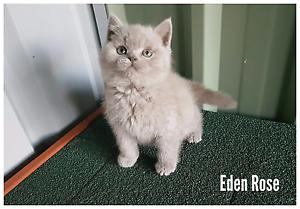 British shorthair male kitten available Adelaide CBD Adelaide City Preview