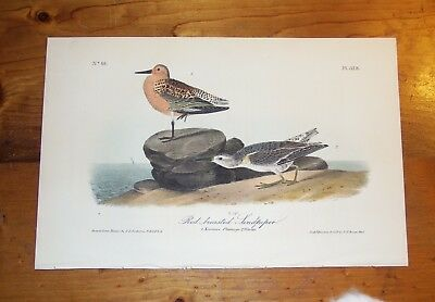 Birds of America. Audubon. Red-breasted Sandpiper. 1st ed.