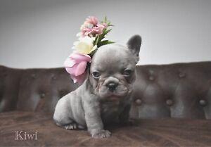 Female French Bulldog Puppy
