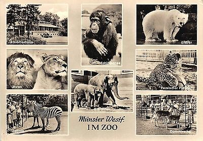 Bg31463 Munster Westf Im Zoo Elefant Bear Lion   Germany Cpsm 14 5X10cm