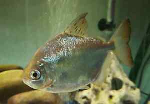 Aquarium Live Fish Large Size Silver Dollars $39each 2 for $60 Doveton Casey Area Preview