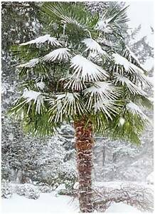 Palm Tree - Star Palm - Snow Palm - Woolly Mammoth Palm Casula Liverpool Area Preview