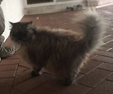 Cat need new home Parkinson Brisbane South West Preview