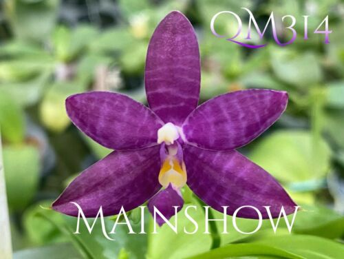 Novelty Phal Phalaenopsis Mainshow Blue Tint-MAINSHOW ORCHIDS-FIRST RELEASE