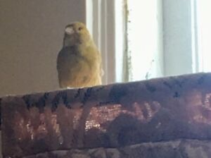 Beautiful canary only for 70$