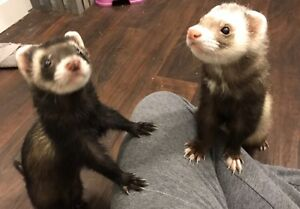 $250 obo male ferrets for sale with everything needed
