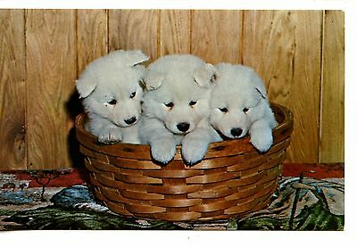 Samoyed Puppies in Wicker Basket-Vintage Pet Dog Animal Postcard