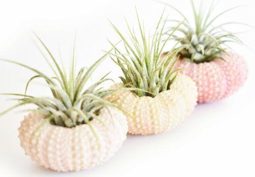 3 Pack Beautiful Air Plant w. Pink Sea Urchin Nautical Gift Beach Wedding Decor