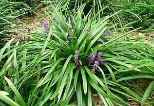 Plants --  Liriope & Mondo grass South Plympton Marion Area Preview