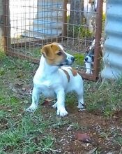 Jack russel Cowra Cowra Area Preview