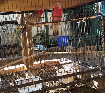 Pair of Galah Parrots