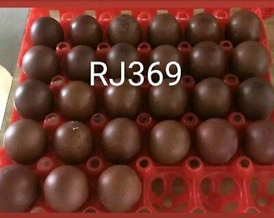 Black Copper Maran Fertile Hatching Eggs Rare Colorful Exotic Beautiful Birds