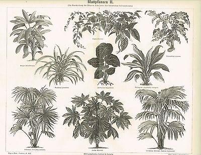 Tafel BLATTPFLANZEN / ARALIE / LIVISTONIA / PANDANUS 1890 Original-Holzstich