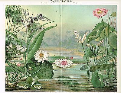 Farbtafel WASSERPFLANZEN / LOTOS / SEEROSEN 1890 Original-Lithographie