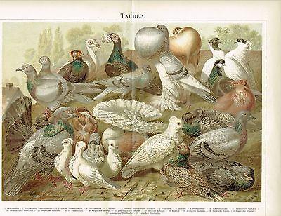 Farbtafel TAUBEN / BRIEFTAUBEN 1889 Original-Lithographie